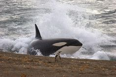 Orca - They sometimes beach themselves to catch Penguins and Seals on the shore.  Smart!
