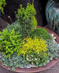 An affordable way to collect small conifers is to buy the one made for container gardens and miniature gardens and grow them on in containers until they are sized up for the landscape.