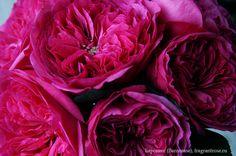 Баронесс (Baronesse) / Фея розы