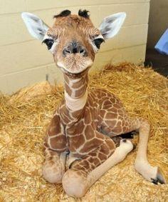 Really. Chubby puff stretch the giraffe gund happens