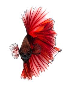 Capture the moving moment of red siamese fighting fish isolated on black background. Betta fish. Fish of Thailand