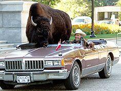 Meet my pet buffalo: rides in car, chugs beer.
