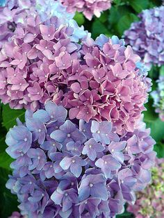Love the variations in the colors of this hydrangea. Must try to copy in my garden! Hortensia Hydrangea, Hydrangea Macrophylla, Hydrangea Flower, My Flower, Flower Beds, Amazing Flowers, Purple Flowers, Beautiful Flowers, Purple Hydrangeas