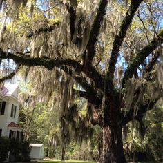 Southern Live Oak Tree in SC, would love this tree in my front yard!!!!