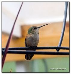 Alice, a cute little female Anna's Hummingbird, came in to visit the flowers in the greenhouse.