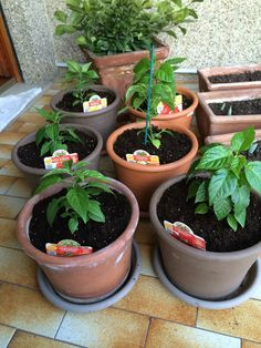 plants after transplant Red andOrange yellow Scorpion Red andYellow Naga Morich, Chilli Plant, Scorpion, Trinidad, Planter Pots, Yellow, Green, Gardening, Scorpio