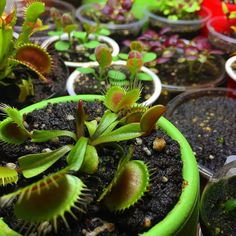 Just another #friday #venusflytrap #flytrap #carnivorous #carnivorousplants #spring #plants #green #indoor #gardening #garden #grow #growing #light #morning #plantlife #color #colorful #carnivoroustagram #coleus #seeds by red8ball