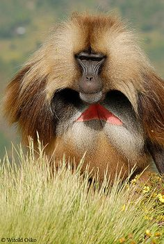 Africa |  Gelada Baboon. Ethiopian Simien Mountains |  © Witold Osko