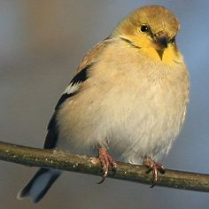 State Bird of New Jersey - American Goldfinch Pretty Birds, Love Birds, Beautiful Birds, Birds 2, Earth Drawings, State Birds, Goldfinch, Big Bird, Little Birds