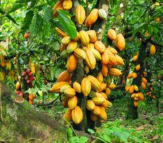 Cocoa live plant, Theobroma cacao size (high) Live plants with pot Organic Green Tea, Organic Herbs, Organic Farming, Natural Herbs, Theobroma Cacao, Brazilian Fruit, Cocoa Plant, Chocolate Tree, Cocoa Chocolate