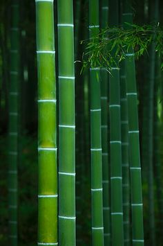 dontrblgme: Bamboo grove in Tenryu-ji temple 天龍寺, Kyoto, Japan (via Damien 高原 Douxchamps)