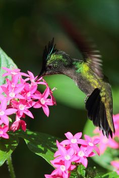 this looks like a Crested Antillian hummingbird (the male has the crest, the female is smaller, plainer and has a longer beak)