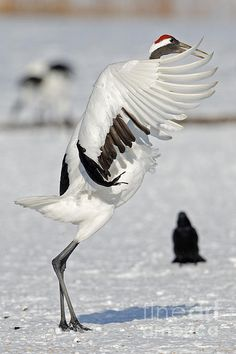 A tanchou or red-crowned crane flaps its wings to begin its dance in Hokkaido Japan.