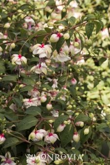 Monrovia's DebRon's Snow Fairy Fuchsia details and information. Learn more about Monrovia plants and best practices for best possible plant performance.