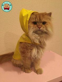 Rain, Rain Go Away, Luigi the Lion Cat Wants to Play