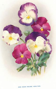 Pansies illustration from our gardens magazine 1911