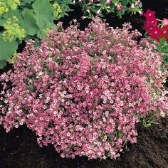 Gypsophila repens Rosea with alchemilla