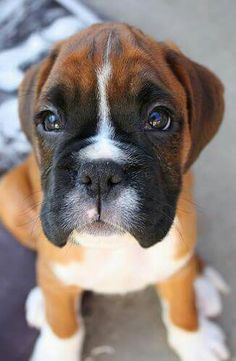 .... Brindle Boxer Puppies, Boxer Dog Breed, Boxer Bulldog, Cute Puppies, Cute Dogs, Dogs And Puppies, Doggies, Cute Baby Sloths, Cute Baby Animals