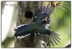 pictures of Cuban trogon or tocororo flying | Recent Photos The Commons 20under20 Galleries World Map App Garden ...