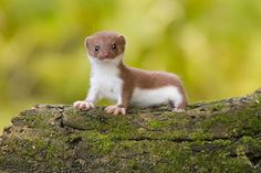 The least weasel (Mustela nivalis), or simply weasel in the UK, is the smallest member of the genusMustela and of the family Mustelidae (as well as the smallest of the Carnivora), native to Eurasia, North America and North Africa, though it has been introduced to New Zealand, Australia, Malta, Crete, Bermuda,Madeira Island, the Azores, the Canary Islands, Sao Tome, the Falkland Islands, Argentina and Chile.[3]