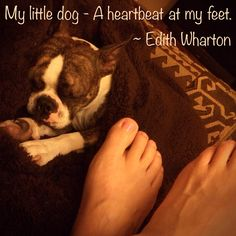 Boston Terrier, my little dog, a heartbeat at my feet  Quote by Edith Wharton  BT Meme