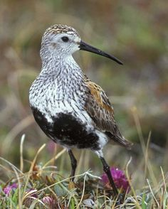 Dunlin, Calidris alpina | Audubon Field Guide