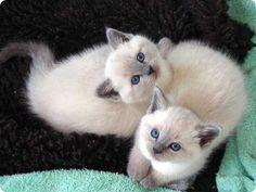 deux chatons siamois                                                                                                                                                                                 Plus