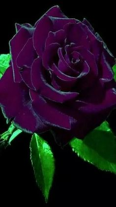 Purple Rose wallpaper now. Browse millions of popular wallpapers and ringtones on Zedge and personalize your phone to suit you. Browse our content now and free your phone Beautiful Rose Flowers, Beautiful Flowers Wallpapers, Love Rose, Amazing Flowers, Rare Roses, Rare Flowers, Exotic Flowers, Purple Flowers, Purple Roses Wallpaper