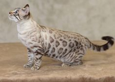 Look at that snow bengal! From eye color i think its a seal lynx spotted bengal cat