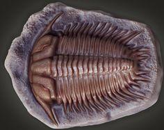 3D damesella paronai trilobite