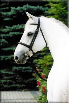Champion du Lys, Selle Francais Stallion, Grey, *1990, 16.2h  http://www.ludger-beerbaum.de/beerbaum/index.php?id=2=1