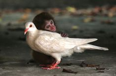 This macaque and dove lived together in an animal protection center off the coast of China. They ate, played, and slept together for two mon...