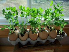 Looking for the best way to sprout your seeds? 1. Save your empty egg shells and the cardboard case 2. Fill with organic soil and sprinkle the herbs on top 3. Place on window sill and spray with water daily 4. Allow to sprout and plant in your veggie garden, egg shell and all... www.inagua.es #piscinas #Marbella #pools #water filtering #watering