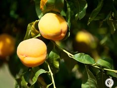 We grow a long list of different fruit here on our farm including cling peaches, apricots, nectarines, prunes, plums, various types of pears and apples, and even some grapes! www.ceciliasfarm.co.za Different Fruits, Dried Fruit, Pears, Farm Life, Apples, Plum, Apple