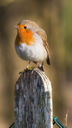 Robin by Kizzy Long Pretty Birds, Beautiful Birds, Animals Beautiful, European Robin, Robin Bird, Rare Birds, Bird Pictures, Robin Redbreast, Colorful Birds