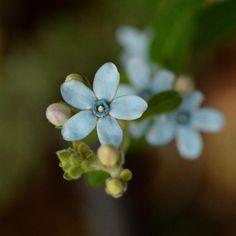 エクステリアの画像 by ekko.yさん | エクステリアとオキシペタルム とブルースターと咲いた!と花のある暮らしと鉢植えのお花