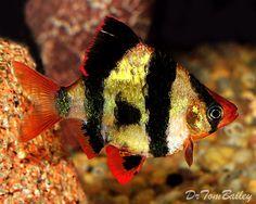 Tiger Barb, Featured item. #tiger #barb #freshwater #freshwaterfish #aquarium…