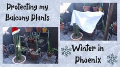 Protecting My Plants From Frost | Phoenix Winter and Plants Balcony Plants, Balcony Garden, House Plants, Freeze, Phoenix, Frost, Sassy, Cactus, Succulents
