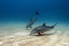 Picture of bottlenose dolphins in the Bahamas