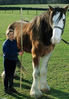 6ft 6ins and still growing... Digger the Clydesdale becomes Britain's biggest horse  Read more: http://www.dailymail.co.uk/news/article-509600/6ft-6ins-growing--Digger-Clydesdale-Britains-biggest-horse.html#ixzz2WlsDIod1 Follow us: @MailOnline on Twitter   DailyMail on Facebook