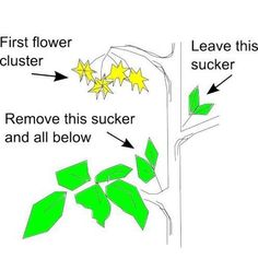 Tomato Pruning Diagram...I was 35 years old before somebody taught me how to do this and it makes for stronger tomato plants