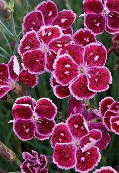 Dianthus 'Fire and Ice'