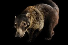 A white-nosed coati at the Fort Worth Zoo.    PHOTOGRAPH BY JOEL SARTORE