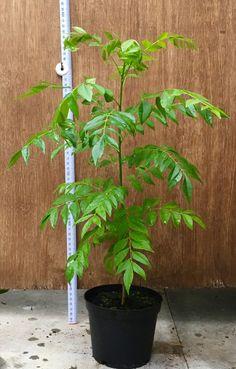 35-40cm Curry Leaf Plant