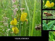 Veldlathyrus - Lathyrus pratensis. - Foto gemaakt door pinterester Adri v.d.S - Bord Wilde Gele bloemen - Yellow wildflowers