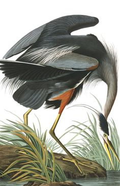 Thrill your walls now with a stunning John James Audubon print from the famous Birds of America Collection. Choose from various John James Audubon artworks printed on our high quality paper and on canvas. Artist Canvas, Canvas Artwork, Canvas Wall Art, Canvas Prints, Bird Artwork, Painting Frames, Painting Prints, Art Prints, Art Paintings