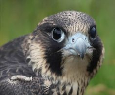 Young peregrine falcon - image taken by Tweed ghillie Andrew Rohleder #peregrinefalcon #birdofprey #rivertweed #Scotland http://www.ardmoor.co.uk/blog/2015/january/young-peregrine-falcon