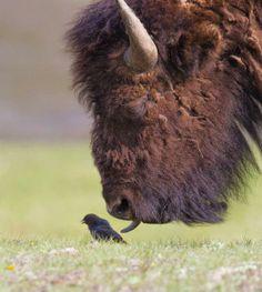 Buffalo gives the bird the tongue...