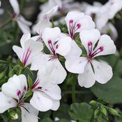 Show product details for Blizzard White Ivy Geranium Plant