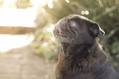 This week's pug photo challenge is all about showing off your pug's profile. So take a photo of them side on so it shows their unique and adorable profile and then tag them #tpdprofile #thepugdiary